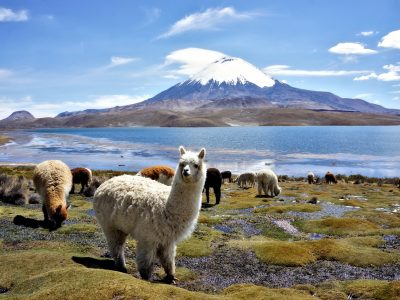 Alpagas devant le volcan Parinacota